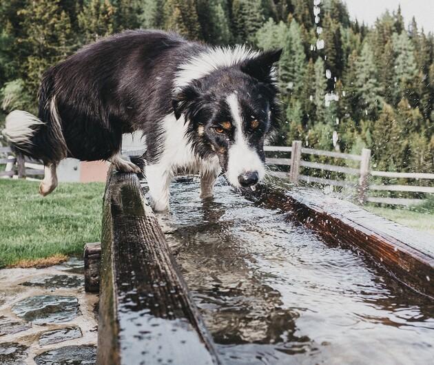 Hund beim Sprung in Holzbrunnen beim Wanderurlaub im Tal der Almen, Salzburg.