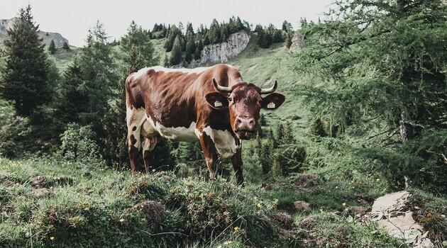 Kuh beim Grasen auf der Alm im Großarltal - Tal der Almen im Salzburger Land.